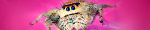 Jumping spider image via Natural History Museum of Los Angeles County.